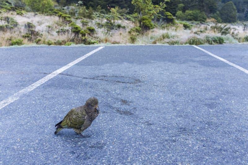 Птица Kea дорогой стоковые изображения
