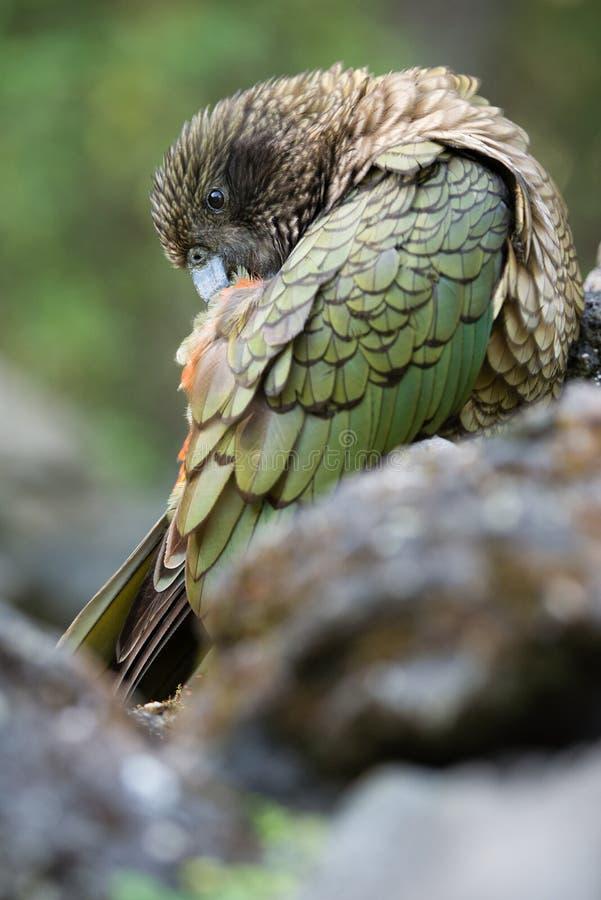 Птица Kea стоковая фотография rf