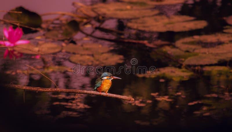 Птица kingfisher стоковые изображения