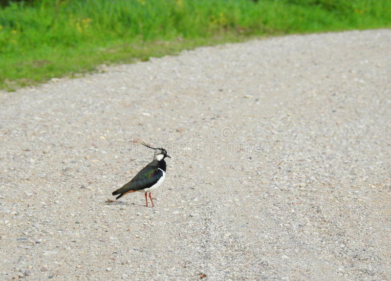Птица Lapwing на дороге стоковая фотография