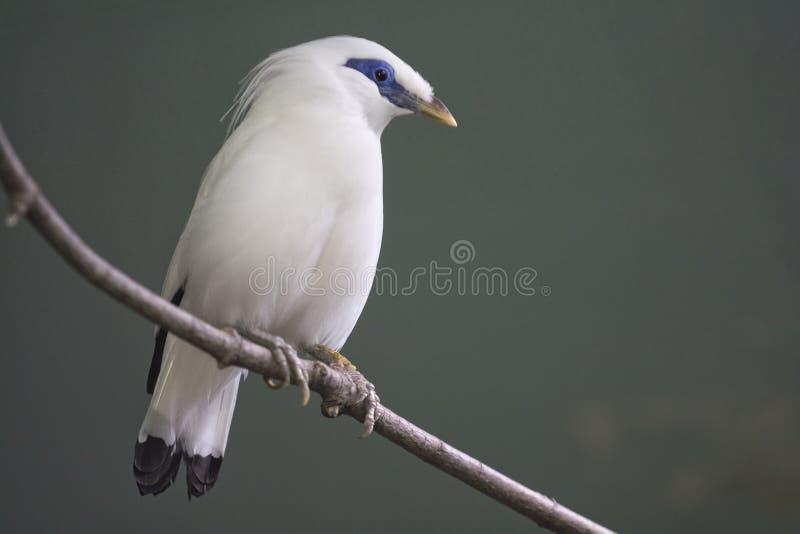 Птица myna Бали стоковое изображение