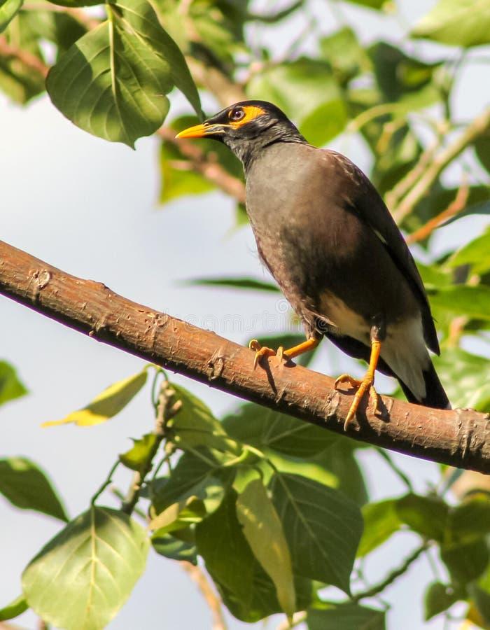 Птица Mynah в Шри-Ланке стоковое изображение