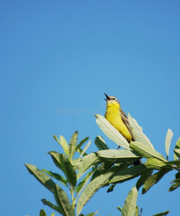 Птица Oriolе сидит на ветви стоковое изображение