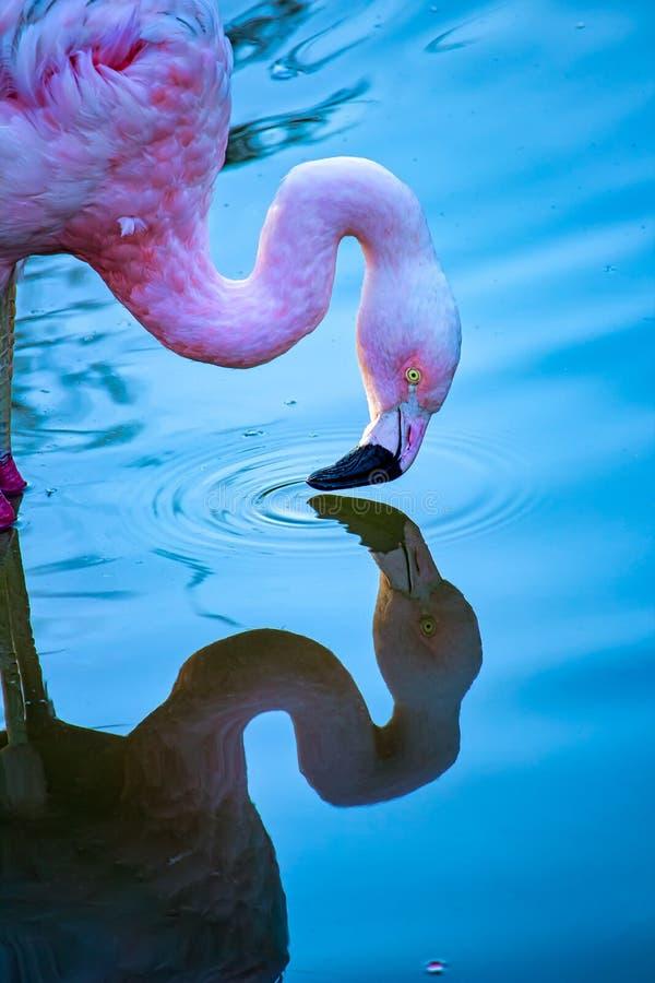 Птица rosado фламинго отражения roseus Phoenicopterus птицы aka экзотическая бразильская - фото розового фламинго в озере смотря  стоковое изображение rf