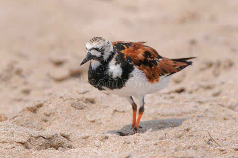 Птица Ruddy Turnstone стоковые изображения rf