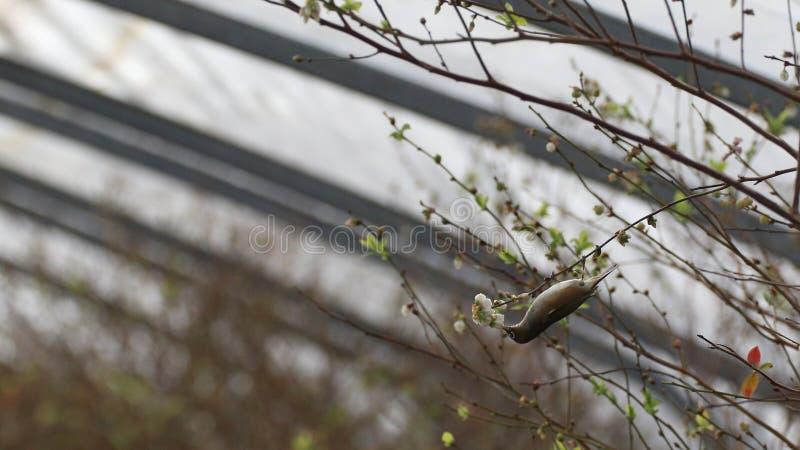 Птица Silvereye в голубике стоковые изображения