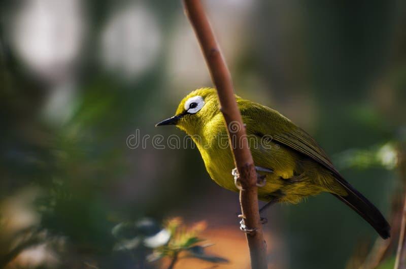 Птица Silvereye малая стоковое изображение