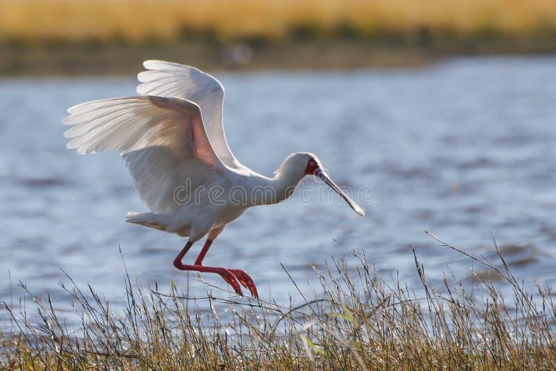 Птица Soonbill Африки одичалая приходя приземлиться стоковые изображения rf