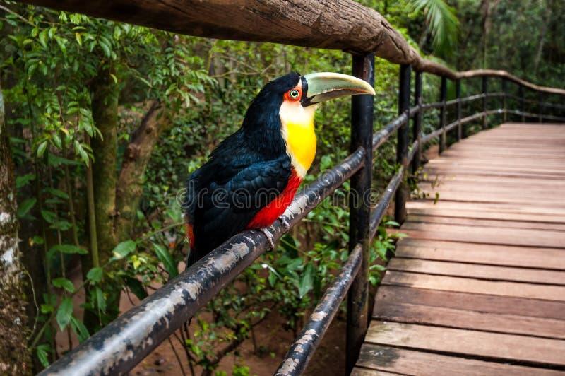 Птица Toucan, национальный парк Iguazu стоковое фото rf