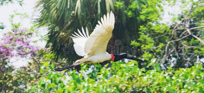 Птица Tuiuiu летая свободно на Pantanal, Бразилию стоковые изображения rf