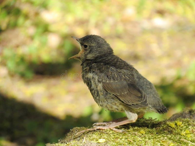 Download Птица Turdus стоковое изображение. изображение насчитывающей флора - 40583399