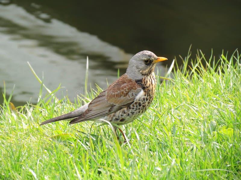 Download Птица Turdus стоковое изображение. изображение насчитывающей завод - 40583443