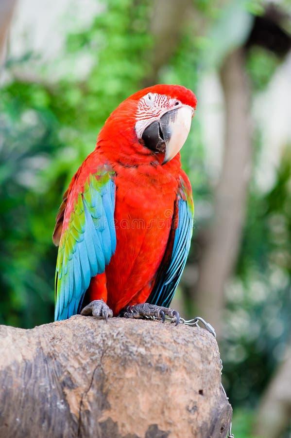 Птицы ары стоковые фотографии rf
