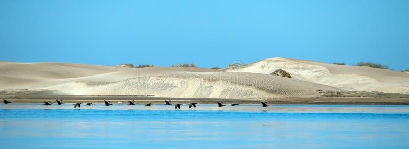 Птицы баклана приставают песчанные дюны к берегу в заливе Мексике Калифорнии Магдалены стоковая фотография