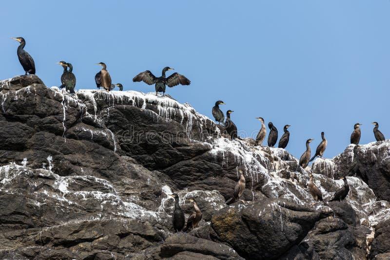 Птицы бакланов на утесе стоковое фото rf