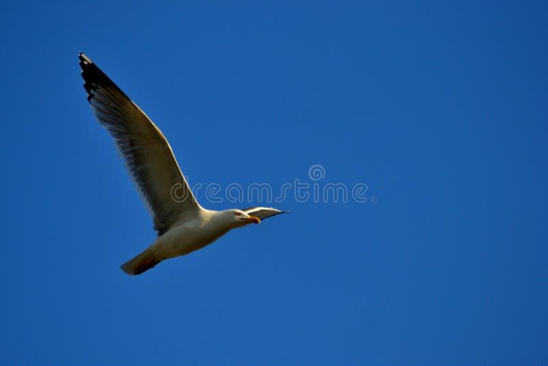 птицы вызвали чайок чайки laridae чаек семьи неофициально часто стоковые изображения rf