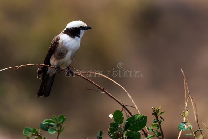 Птицы в кратере Ngorongoro в Танзании стоковое фото
