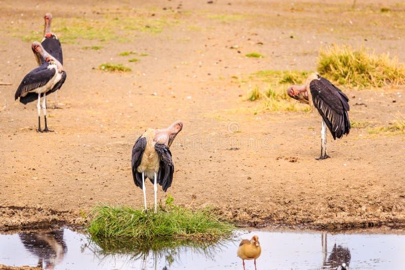 Птицы в кратере Ngorongoro в Танзании стоковые изображения