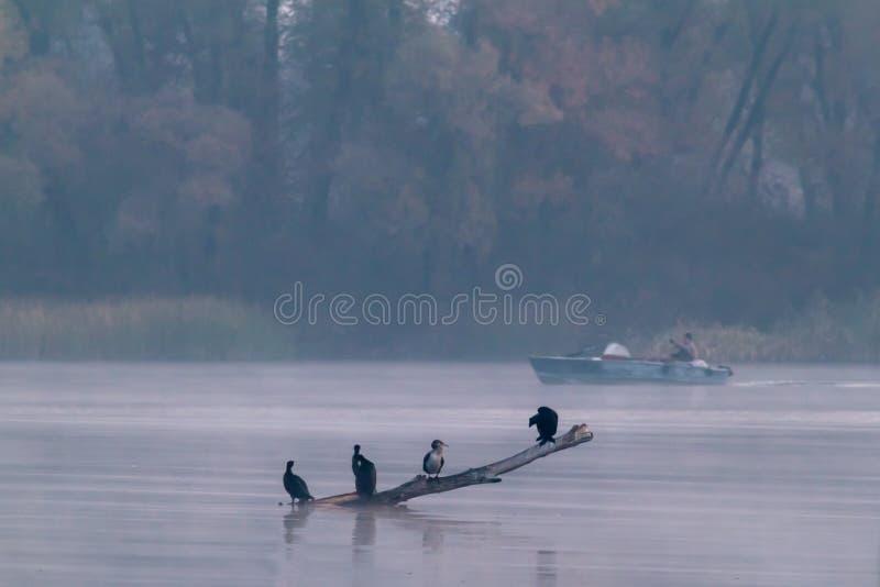 Птицы в тумане и рыбной ловле стоковая фотография rf
