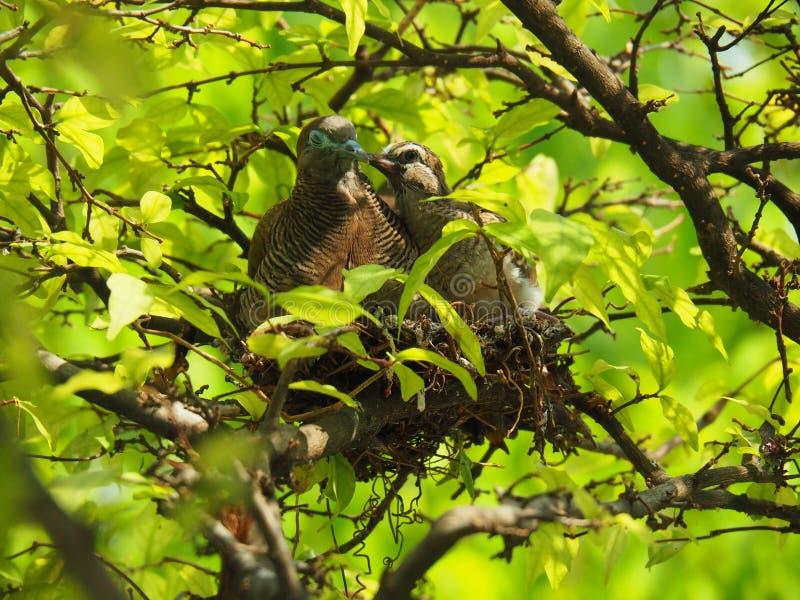 2 птицы в ` s птицы гнездятся, мать поцелуя птицы младенца с влюбленностью стоковая фотография rf
