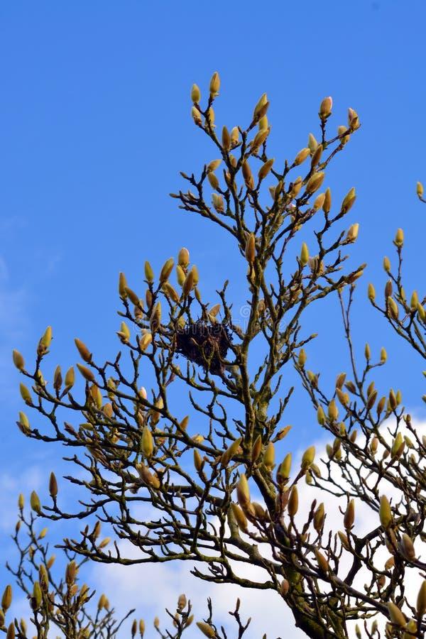 Птицы гнездятся в a около для того чтобы зацвести дерево стоковые фото