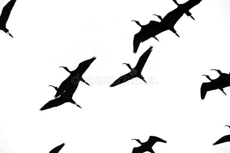 Птицы летая Sihouette изолировали стоковая фотография