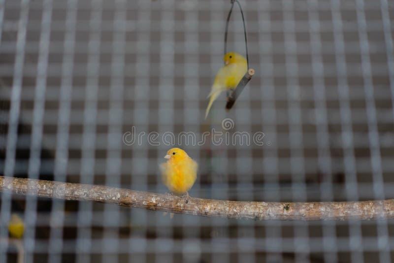 2 птицы желтых зеленого цвета канереечных за железной клеткой стоковая фотография rf