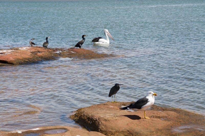 Птицы западной Австралии: Kalbarri стоковое фото rf