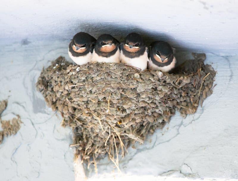 Птицы и животные в живой природе ласточка Молодое patie ласточки амбара стоковые изображения rf