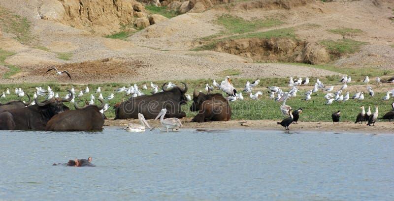Птицы и индийские буйволы в Уганде стоковое изображение