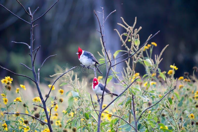 Птицы (красно-crested кардинал) на ветви и желтых цветках стоковое изображение