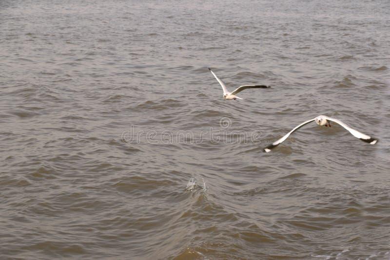 Птицы летают свободно над Аравийским морем стоковое фото