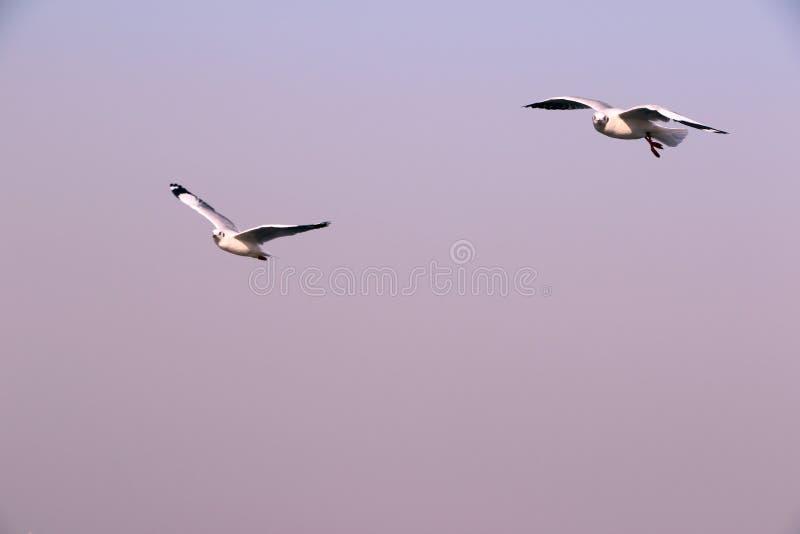 Птицы летают свободно над Аравийским морем стоковое фото rf