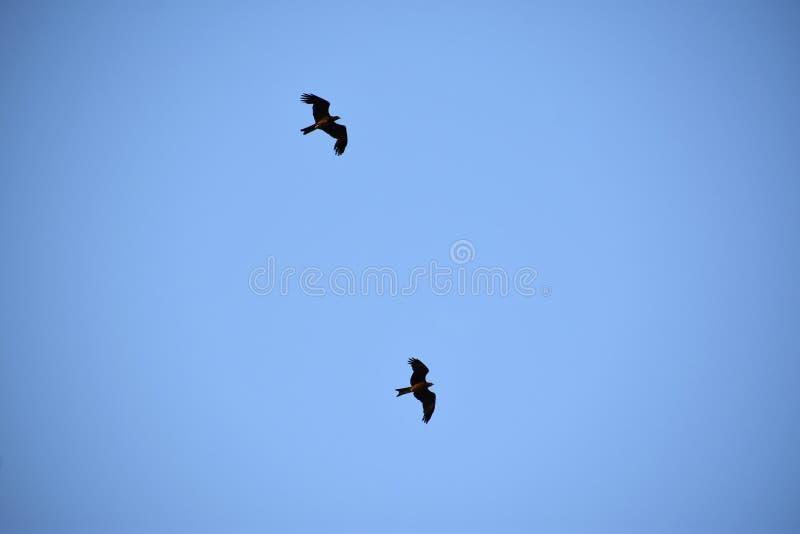 2 птицы летая в сторону голубого неба - - сторона стоковое изображение