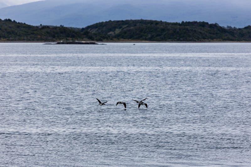 Птицы летая как раз над ледистыми водами вокруг Isla Martillo, Пэт стоковые фотографии rf
