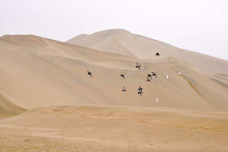 Птицы летая над пустыней стоковые изображения