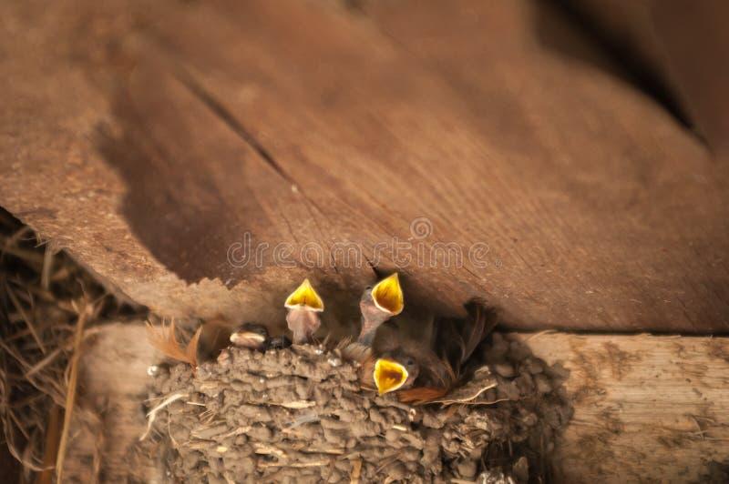 Птицы, мама ласточки подавая молодые птицы младенца в городской местности стоковые фотографии rf
