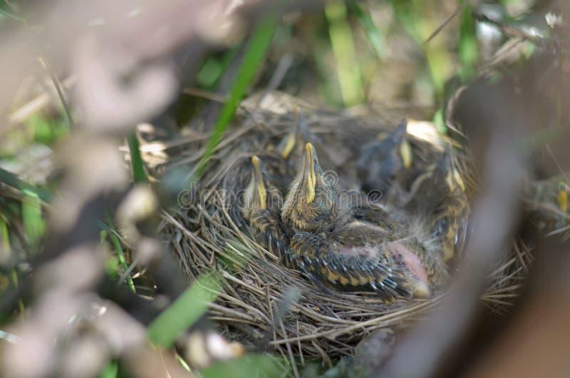 Птицы младенца Turdus Philomelos молочницы песни стоковые изображения rf