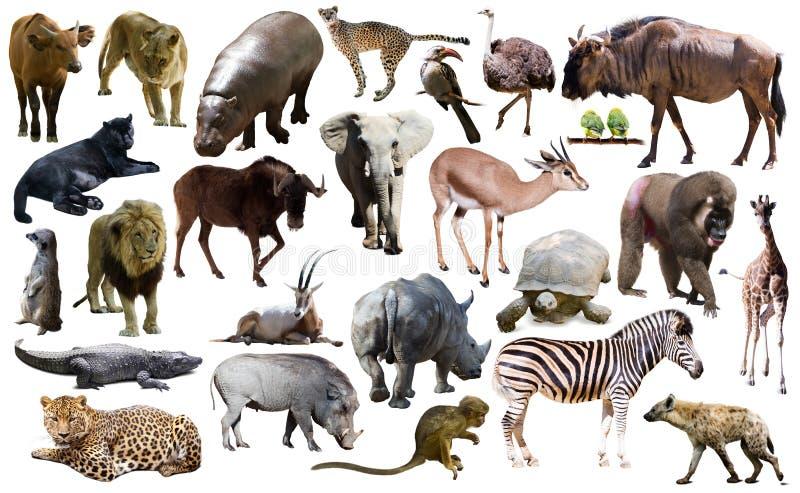 Птицы, млекопитающее и другие животные Африки изолировали стоковое изображение