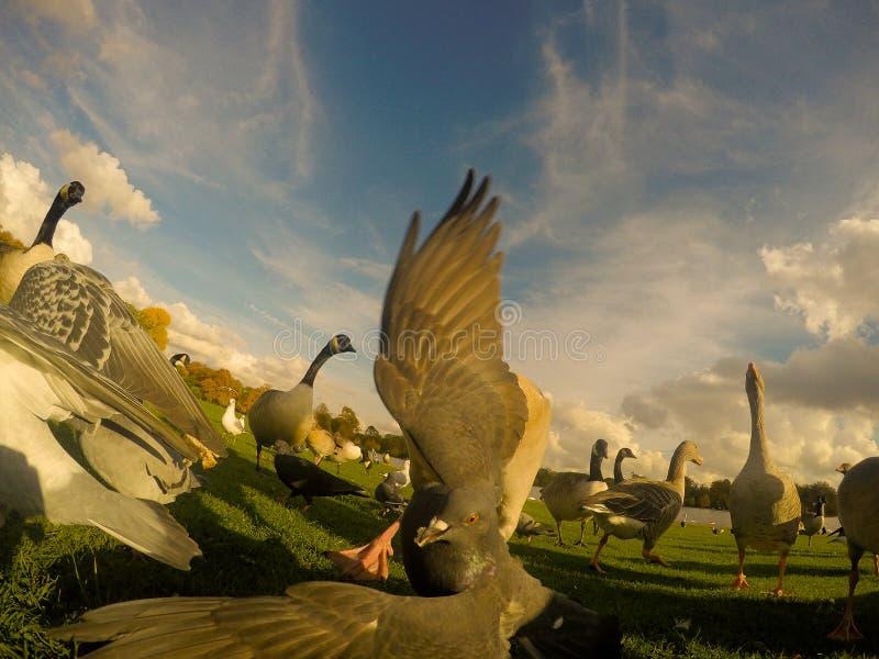 Птицы на Гайд-парке стоковые фото