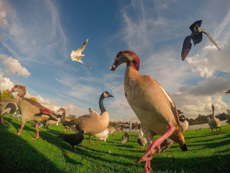 Птицы на Гайд-парке стоковые изображения