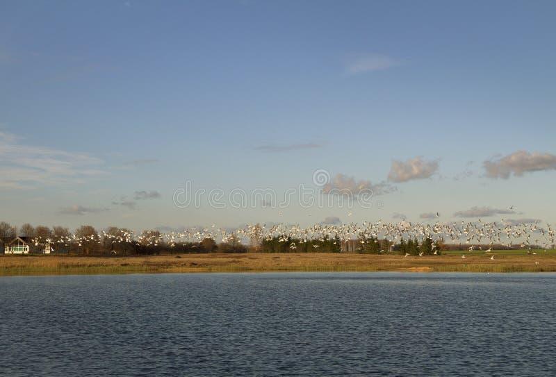 Птицы над озером стоковое изображение rf