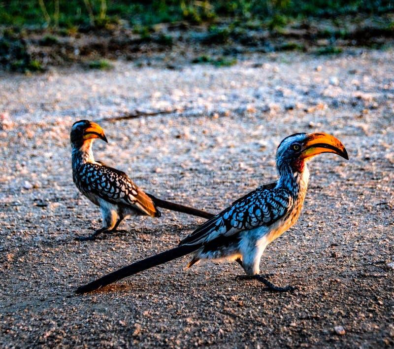 Птицы птицы-носорог в природе стоковые изображения rf