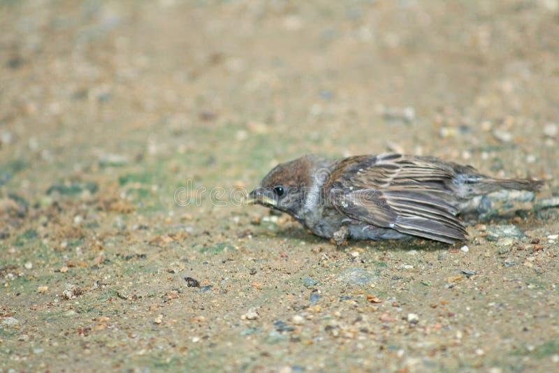 Птицы падают от гнезда на дереве, птице воробья на том основании стоковые изображения
