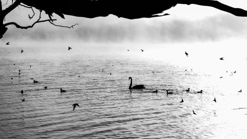 Птицы плавая в озере черно-белом стоковые изображения