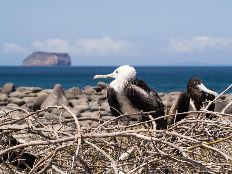 Птицы фрегата гнездясь в островах Галапагос стоковое фото rf