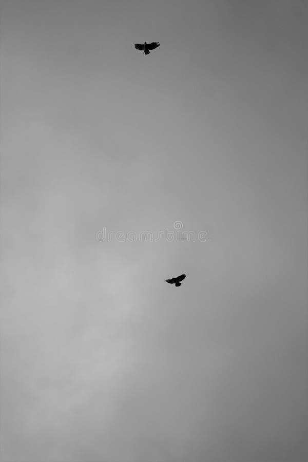 Птицы хищника летают в свет от шторма стоковое изображение rf