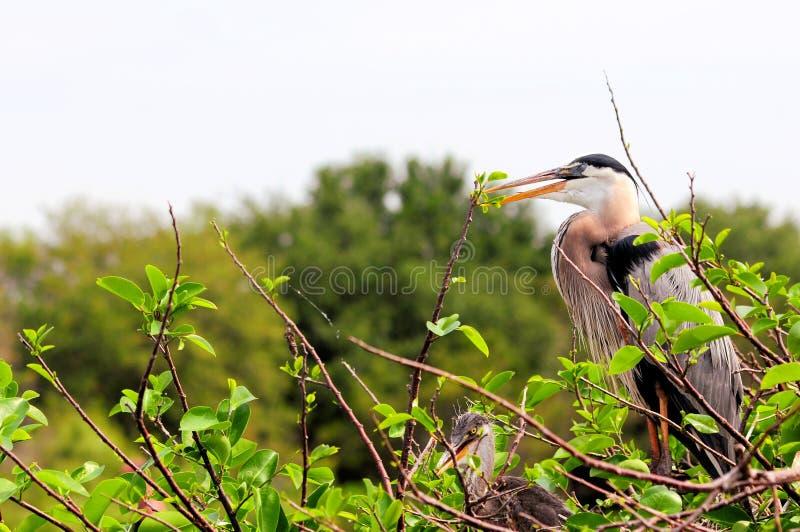 Птицы цапли большой сини (взрослый & цыпленок) в гнезде стоковое фото