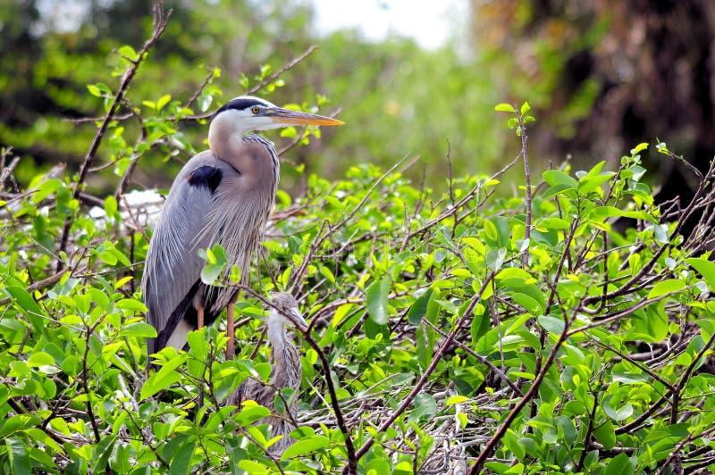 Птицы цапли большой сини в гнезде стоковые изображения rf
