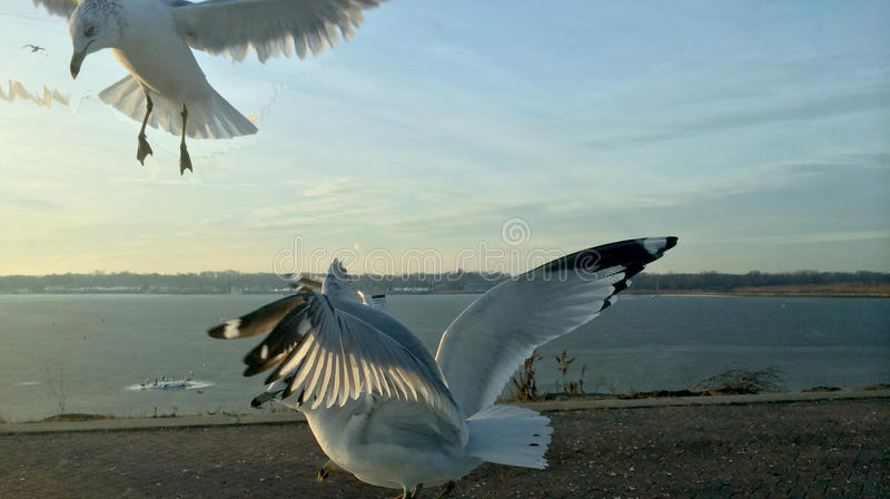 Птицы чайки летания и голубое небо стоковые фотографии rf
